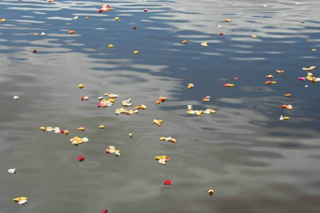 Rose petals scattered on the river - part of an alternative funeral/memorial ceremony facilitated by Perth celebrant Ishara